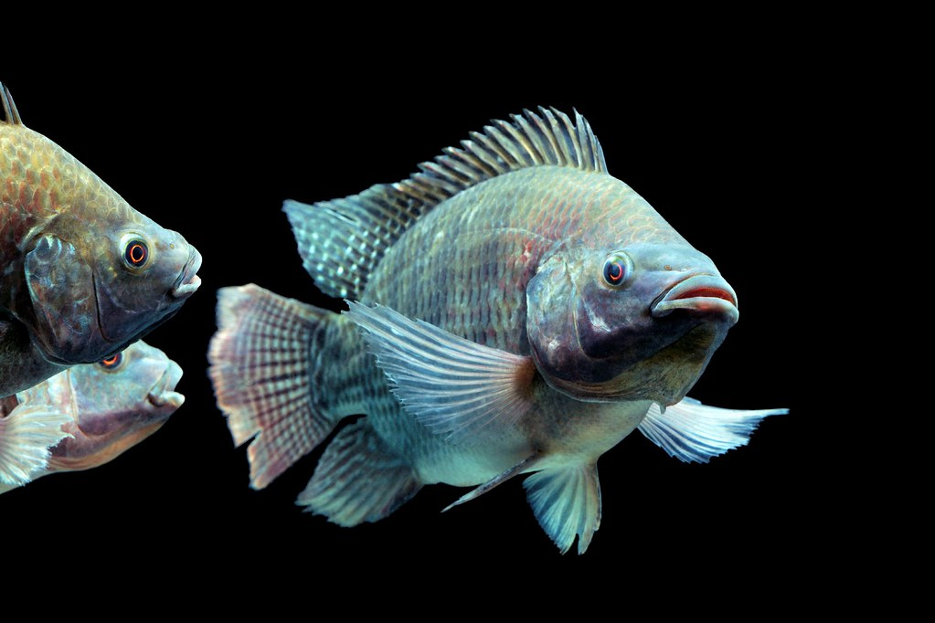 The World 39 S Best Photos Of African And Cichlid Flickr