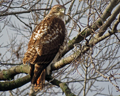 IMG_1857-copy (lbj.birds) Tags: bird nature hawk wildlife kansas flinthills redtailedhawk