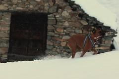 (66Colpi) Tags: dog pet cane neve montagna legno sandomenico baita verbania fiocchi alpeveglia varzo