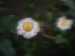 OPC 110116 024 (Jusotil_1943) Tags: flores camelias desenfoque camellias selectivo opc110116
