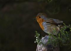 Garden Robin (Jeapesy) Tags: robin birds garden