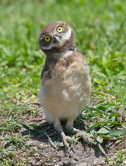 All Eyes (ruthpphoto) Tags: baby cute nature eyes wildlife owl avian burrowingowl owlette