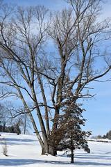 multitrunked red oak (ophis) Tags: quercus redoak fagaceae quercusrubra