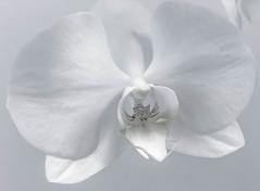Orkidée [Explore] (camillagarin) Tags: 7dwf highkey fs160207 fotosondag