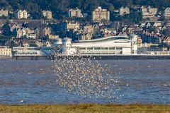 Dunlin - Brean Down - Weston Pier in the background (oldparson) Tags: birds dunlin weston breandown riveraxe