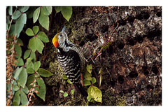 Brown Fronted Woodpecker (viwake) Tags: negi uttarakhand