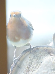 x P2250404c  Nowww . . . If I could just, somehow, get IN THERE . . ! !! . .. . (Erniebobble *~* HappyHolyWeek2018! *~*) Tags: winter red portrait brown white black blur bird eye feet window nature wet smile robin weather silhouette contrast woodland garden season grey wings focus funny soft colours looking feeding coconut head wildlife tail profile beak cream thoughtful overcast pale clear hidden rainy bbc edge environment imagination balance beyond perched through curved visitor gazing dull climate newforest avian intelligent muted songbird unseen feathered interpretation plumage twitcher subdued 2016 behaviour rspb wildlifegarden unsprung chrispackham bgbw winterwatch erniebobble