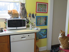What's for dinner? (andrea z) Tags: cat orangecat pete newton percy graycat catraptor