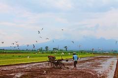 di sawah sore itu.. (ahzarinaldi) Tags: blue brown green bird nature field clouds indonesia landscape java nice paddy mount gunung flikr pati sawah flikrs