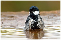 Cinereous tit (arjun.nikon) Tags: wild portrait bird nature birds animal animals bath tit natural outdoor wildlife explore national wilderness bathing animala letsexplore