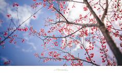 關於 櫻 (楚志遠) Tags: art 35mm nikon f14 sigma 花 植物 屏東 櫻花 樹 山地門 開花 戶外 霧台 阿禮部落 楚志遠 凍先生