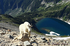 DSC03017 (forrest.croce) Tags: mountain mountains wildlife goats backpacking glaciers northcascades noca