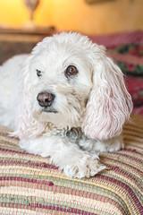 Princess (aivzdogz) Tags: dog pet pets white love dogs animal animals mutt mix fluffy indoors spaniel bichon frise inside cocker