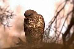 Buzzard (Debs J photos) Tags: bird canon wildlife buzzard