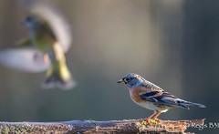 Droit dans ces bottes ;-) (Rgis B 31) Tags: bird oiseau arige brambling fringillamontifringilla mazres pinsondunord fringillids passriformes domainedesoiseaux
