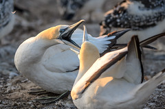 Australasian Gannets (Morus serrator), Cape Kidnappers, Hawkes Bay, NZ - 14/2/16 (Grumpy Eye) Tags: sunrise nikon ab 300mm 28 nikkor colony australasian gannets waterbirds morus serrator d7000 kidappers