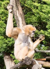 White cheeked gibbon 271215 05 (Leigh James (Fidgitydigit)) Tags: primate gibbon whitecheekedgibbon zoodelaflechefrancezoo
