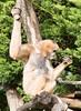 White cheeked gibbon 271215 05 (Leigh James (Fidgitydigit)) Tags: primate gibbon whitecheekedgibbon zoodelaflechefrancezoo