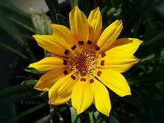Sunny (R_Ivanova) Tags: summer flower color macro nature colors yellow garden sony sunny gazania   rivanova
