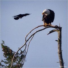 high level discussions (marneejill) Tags: eagle bald crow attacking