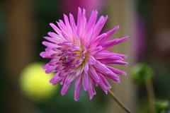 Purple Power (Heaven`s Gate (John)) Tags: dahlia england flower macro nature sunshine closeup botanical outside power purple bokeh johndalkin heavensgatejohn