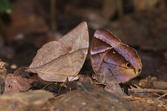 Zeuxidia doubledayii and Thaumantis klugius (moloch05) Tags: malaysia taman negara