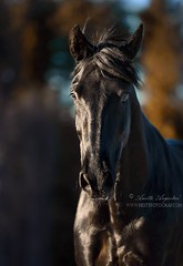 Nocturno 2 (Hestefotograf.com) Tags: horses horse oslo norway caballo cheval married welsh arabian justmarried cavalo pferd stallion canter equine equus paard darkhorse friesian purarazaespanol equinephotographer equinephoto hestefotograf