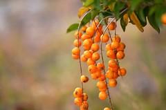 naranjitas (rosatifamadelrio) Tags: fave40