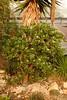 Crassula ovata (longk48) Tags: gardens oxford botanic crassula ovata