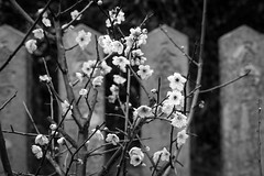 blossoms + memorials (l e o j) Tags: flowers blackandwhite monochrome japan stone canon eos japanese rebel carved kiss shrine stones blossoms plum kanji blooms monuments ume  memorials xsi  tenmangu x2    chikugo 450d  tsunashiki