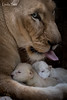 DSC_3848-1-2 (Linda Smit Wildlife Impressions) Tags: cats white nature animal cat mammal photography big nikon outdoor african wildlife birth lion d750 cubs endangered lioness bigcats cecil carnivore lioncubs givingbirth