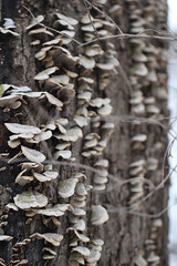 Mushrooms (K.G.Hawes) Tags: wood trees winter snow cold tree ice nature mushroom wisconsin forest mushrooms frozen woods natural snowy freezing shelf madison bark freeze fungus shelves wooded wintry fungal froze forested