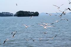 _DSC0422 (sayots) Tags: japan gull  matsushima miyagi
