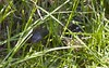 another red-belly hiding in the grass (cskk) Tags: snake farm australia nsw currawong pseudechisporphyriacus redbelliedblacksnake elapid pseudechis porphyriacus