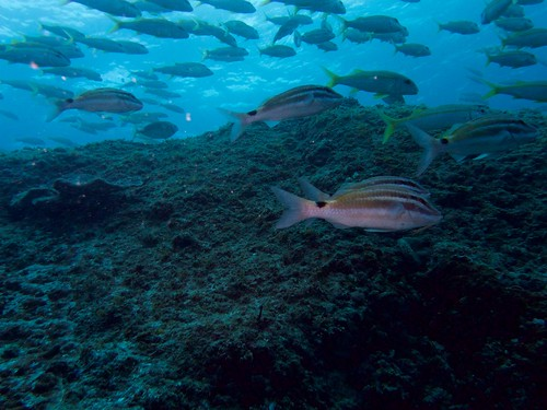 shoal of goatfish