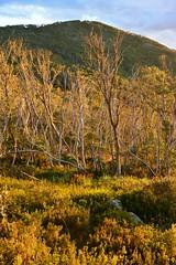 Afternoon Light on Mt Gingera (~Jek~) Tags: geotagged australia aus namadgi australiancapitalterritory brindabellas namadginationalpark gingera pryorshut mtgingera geo:lat=3556187125 geo:lon=14877759039