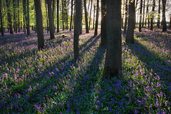 Bluebells in Evening, Dockey Wood (Alan MacKenzie) Tags: flowers trees sunset nature bluebells forest woodland spring unitedkingdom dockeywood