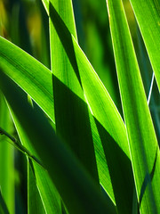 Thick and Thin (Steve Taylor (Photography)) Tags: uk greatbritain iris shadow england green london leaves sunshine silhouette glow unitedkingdom sunny gb monocolor monocolour