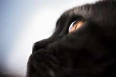 Yoda (Blochmntig) Tags: cats eye cat yoda smoke katze kater britishshorthair blacksmoke cateye catposing yelloweye catportrait katzenaugen katzenportrait britischkurzhaar catmoments catinpose