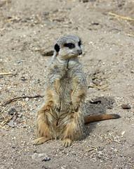 Is Meerkat! Simples! (RiverCrouchWalker) Tags: meerkat farm essex walthamabbey suricate suricatasuricatta suricata leevalleypark leevalleycountrypark herpestidae leevalleyparkfarms
