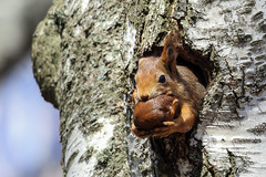 Mama and Baby Squirrel (callocx) Tags: tree animal fauna squirrel sweden wildlife parent tele carry vsters babysquirrel youngsquirrel notudden