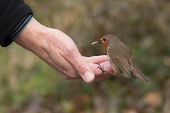 Trust (Andrew_Leggett) Tags: robin support hand friendship feeding erithacusrubecula trust bond caring care helping feedingfromthehand andrewleggett