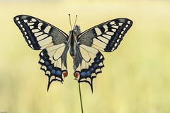 *Schwalbenschwanz in der Morgensonne*   *swallowtail in the morning sun* (albert.wirtz) Tags: summer macro nature yellow sunrise sommer natur gelb makro sonnenaufgang swallowtail schmetterling morgensonne schwalbenschwanz grashalm sdeifel nikkor105mmf28vr ritterfalter bergweiler nikond700 macrounlimited albertwirtz