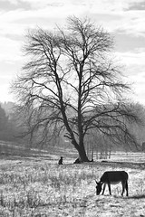 Donkeys Blues   #BeLikeHenri   #Biella #Biellese (! . Angela Lobefaro . !) Tags: piedmont piemonte donkey man guy dog tree nature country countryside bw visitpiedmont visitpiedmontitaly oak alp alps alpen biella biellese italien italie valdengo landscape fav10 fav20 fav30 fav40