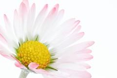 Gnseblmchen (photalena) Tags: flower macro nature high flora key 7dwf