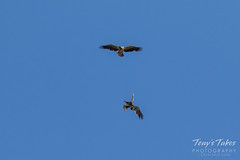 Juvenile Bald Eagles battle sequence - 4 of 5