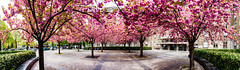 Robert Emmerich - 46 PAN - The cherry blossom No. 6 in Berlin - Germany (Robert Emmerich Photography) Tags: panorama berlin robert photoshop canon germany cherry eos spring focus blossom pan re stacking dslr frhling kirschblte 2015 emmerich 40d stuckinberlin frhling kirschblte robertemmerich