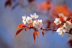 やまざくら (山桜)/Prunus jamasakura (nobuflickr) Tags: nature japan spring kyoto 桜 sakura 山桜 京都御苑 kyotoimperialpalace 京都市 御所 yamazakura prunusjamasakura awesomeblossoms バラ科サクラ属 やまざくら 20160321dsc04364
