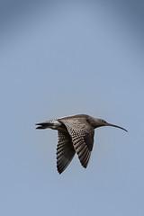 curlew- (adele_tayles) Tags: bird moorland marsden curlew