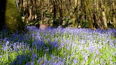 Deer_26-04-2016 (gcu_sketcher) Tags: morning trees bluebells woodland video woods somerset deer xt1 xf1655